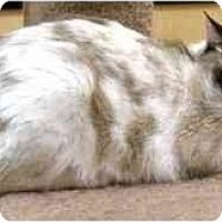 Adopt A Pet :: Saucy - Irvine, CA