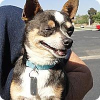 Chihuahua Mix Dog for adoption in Santa Ana, California - Rico Suave