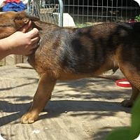 Adopt A Pet :: colin Adoption Pending - Manchester, CT