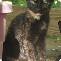 Domestic Shorthair Kitten for adoption in Columbia, Tennessee - Lilly