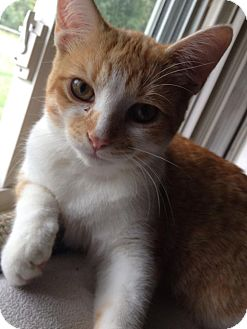 Domestic Shorthair Cat for adoption in Davison, Michigan - Oliver