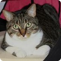 Domestic Shorthair Cat for adoption in Venice, Florida - Wyli