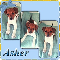 Adopt A Pet :: Asher Meet me 3/18 - Manchester, CT