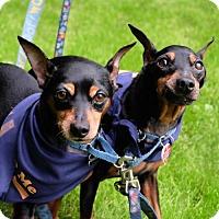 Adopt A Pet :: Starsky & Hutch - Santa Monica, CA