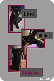 Domestic Shorthair Kitten for adoption in CLEVELAND, Ohio - Levi