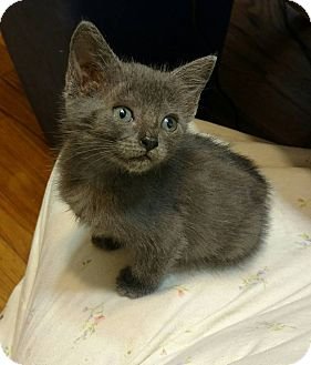 Russian Blue Kitten for adoption in Texarkana, Arkansas - Anastasia