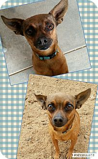 Chihuahua Mix Dog for adoption in Edwards AFB, California - Cisco