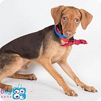 Adopt A Pet :: Avery - Irving, TX