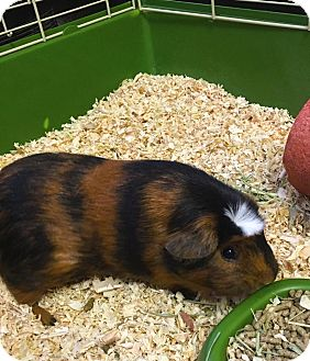 Guinea Pig for adoption in Pasco, Washington - Ellie Mae