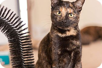 Domestic Shorthair Cat for adoption in Manitowoc, Wisconsin - Ariel