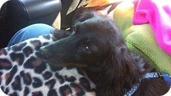 Dachshund Dog for adoption in Aurora, Colorado - Mickey