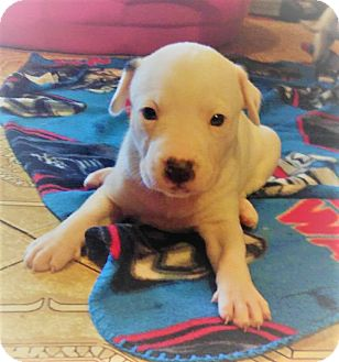 Australian Cattle Dog/Pit Bull Terrier Mix Puppy for adoption in Wichita Falls, Texas - Sweetie