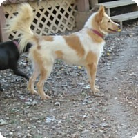 Collie/Border Collie Mix Dog for adoption in Tiptonville, Tennessee - Chloe