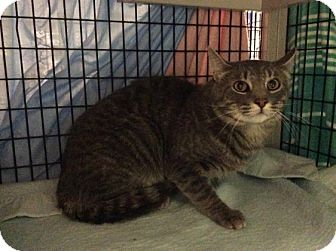 Domestic Shorthair Cat for adoption in Janesville, Wisconsin - Gump