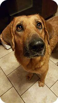 Retriever (Unknown Type) Mix Dog for adoption in Plainfield, Illinois - Ruby