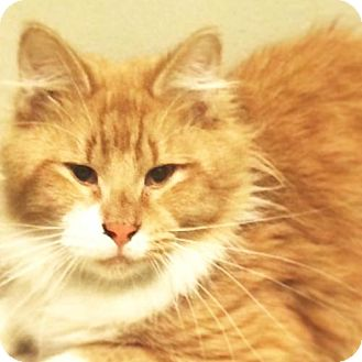 Maine Coon Cat for adoption in Washington, D.C. - Robbie