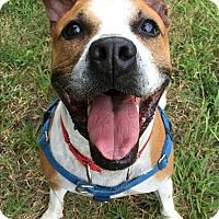 Boxer Mix Dog for adoption in Portsmouth, Virginia - Kahlua