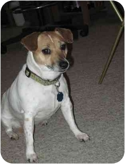 Jack Russell Terrier Dog for adoption in Omaha, Nebraska - Little Bit