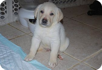 Labrador Retriever/German Shepherd Dog Mix Puppy for adoption in Minneola, Florida - Chauncey
