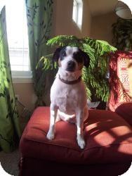 Jack Russell Terrier Mix Dog for adoption in Saskatoon, Saskatchewan - Jackson