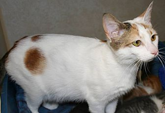 Domestic Shorthair Cat for adoption in Salisbury, North Carolina - Trissy