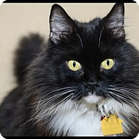 Maine Coon Cat for adoption in Brick, New Jersey - Dewey