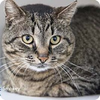 Adopt A Pet :: Smokey - Merrifield, VA