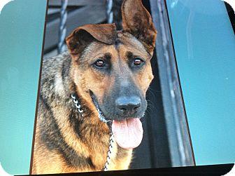 German Shepherd Dog Mix Puppy for adoption in Los Angeles, California - VIOLET VON VISEL