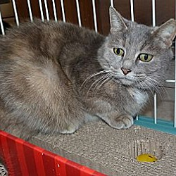 Photo 1 - Domestic Mediumhair Cat for adoption in Stafford, Virginia - Mattie