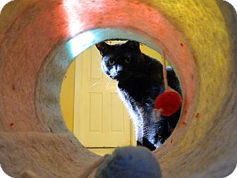 Domestic Shorthair Cat for adoption in Jupiter, Florida - Belle