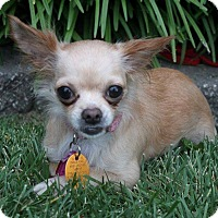 Chihuahua Dog for adoption in Wichita, Kansas - Kandee Leigh