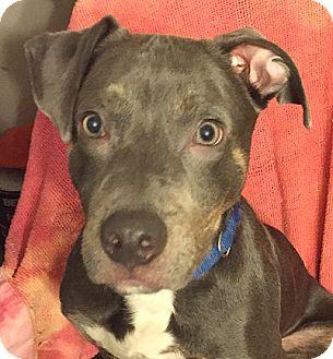 Pit Bull Terrier Mix Dog for adoption in Cincinnati, Ohio - Denver