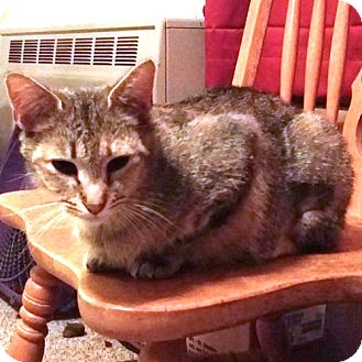 Domestic Shorthair Cat for adoption in Cherry Hill, New Jersey - Clarisse
