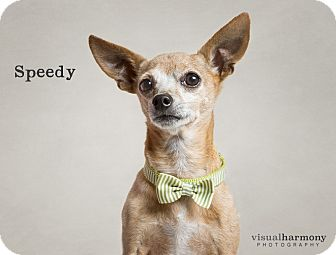 Chihuahua Mix Dog for adoption in Chandler, Arizona - Speedy
