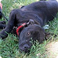 Adopt A Pet :: Kippy Girl - Glastonbury, CT