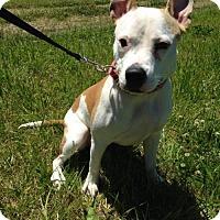 Pit Bull Terrier Mix Dog for adoption in Centerburg, Ohio - Sahara