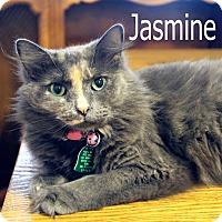 Domestic Mediumhair Cat for adoption in Wichita Falls, Texas - Jasmine