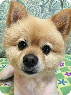 Pomeranian Dog for adoption in Harrisburg, Pennsylvania - Toby