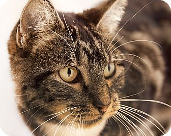 Domestic Shorthair Cat for adoption in Chaska, Minnesota - Plum