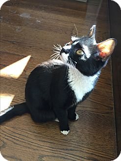 Domestic Shorthair Cat for adoption in New  York City, New York - Ti Moune