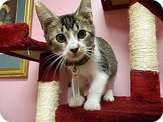 Domestic Shorthair Kitten for adoption in The Colony, Texas - Campbell