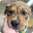 Adopt A Pet :: Laddie