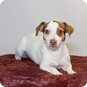 Rat Terrier Dog for adoption in St. Louis Park, Minnesota - Tattle
