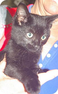 Domestic Shorthair Kitten for adoption in Longview, Washington - Lucky