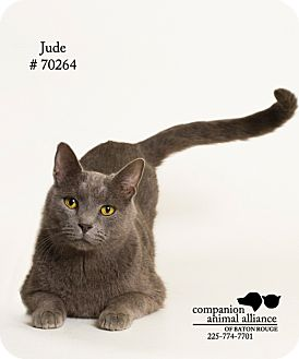 Russian Blue Cat for adoption in Baton Rouge, Louisiana - Jude