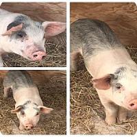 Adopt A Pet :: HAMLET - West Palm Beach, FL