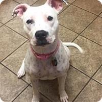 Pit Bull Terrier Mix Dog for adoption in Joplin, Missouri - Tink  Vtg 5358