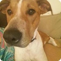 Adopt A Pet :: FABULOUS, AWESOME BELLA - Albuquerque, NM