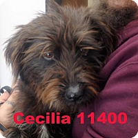 Adopt A Pet :: Cecilia - Alexandria, VA