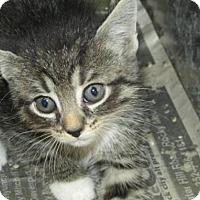 Adopt A Pet :: Cat GU01 - Rocky Mount, NC